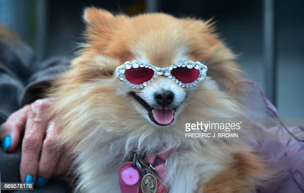 Pomeranian Goldie Ann wearing sunglasses sits on her owners lap while attending the Walk of Fame Star ceremony for actor Gary Sinese in Hollywood...