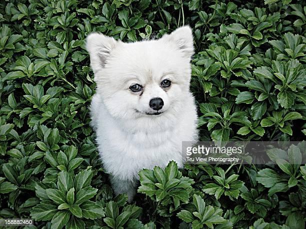 Pomeranian in pachysandra