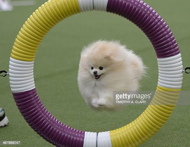 A Pomeranian in the Agility Ring during the firstever Masters Agility Championship on February 7 2014 in New York at the 138th Annual Westminster...