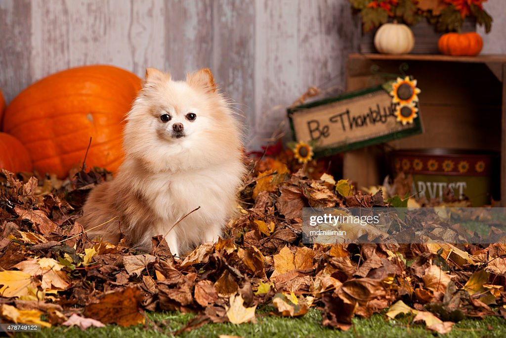 Pomeranian in the Leaves : Stock Photo