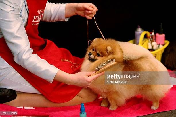 Pomeranian is brushed during the 132nd Annual Westminster Kennel Club Dog Show at Madison Square Garden February 11 2008 in New York City The...