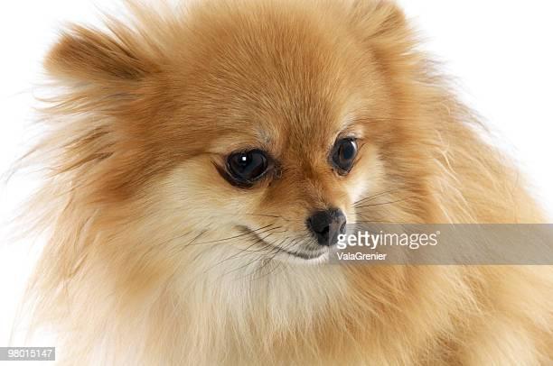 ポメラニアン悩むお探します。 - named animal ストックフォトと画像