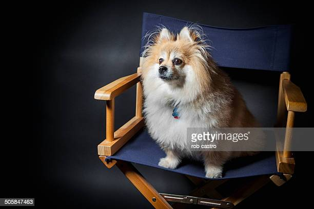 pomeranian on armchair - rob castro stock pictures, royalty-free photos & images
