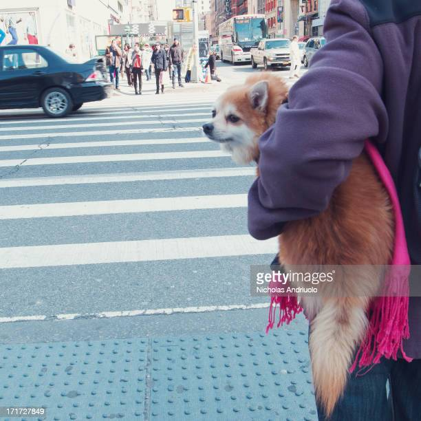 Pomeranian owner carrying her dog through the streets of Chealse in New York City The cute little lap dog looks over at pedestrians with a sense of...