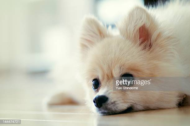pomeranian - japanese spitz stock pictures, royalty-free photos & images