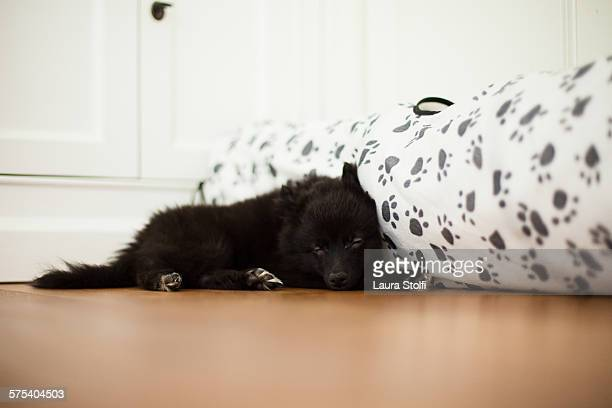 pomeranian puppy dog sleeps close to toy - long haired chihuahua stock photos and pictures