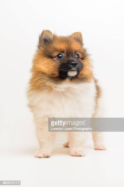 60 Top Pomeranian Pictures Photos Images Getty Images