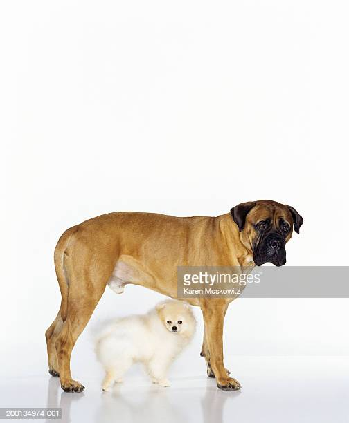 Pomeranian standing between legs of bull mastiff