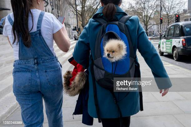 Pomeranian toy dog is carried in its owner's day-pack and next to a furry coat hood while walking through a London street, on 8th April 2021, in...
