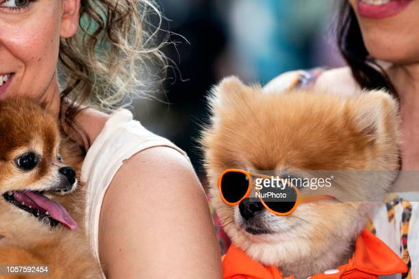 Pomeranians and their owners attend Woofstock 90210 a dog festival in Beverly Hills California on November 4 2018 The annual event for dogs and their...