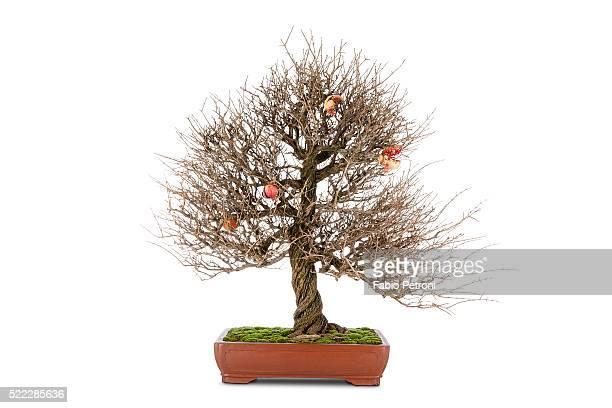pomgranate bonsai