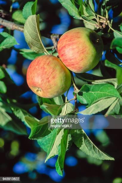 Pommes Reinettes sur une branche