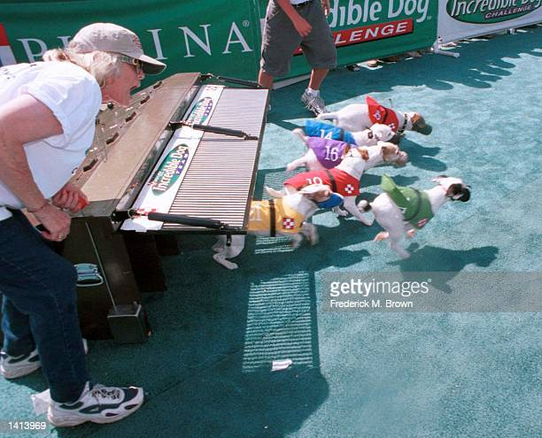 Pomona, CA. Didi Gough starts Terrier Hurdle Race at the Incredible Dog Challenge. Photo by Frederick M. Brown