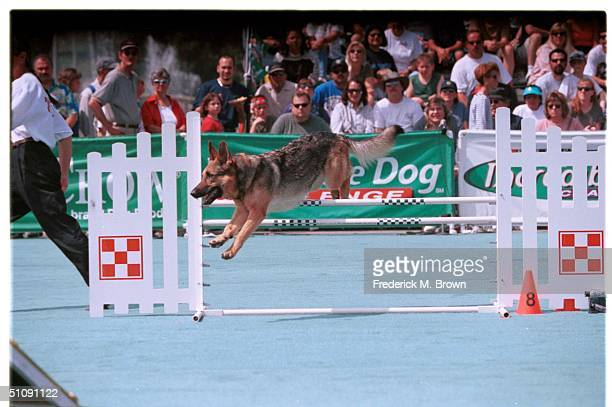 Pomona, Ca. Rose Jumps Over A Hurdle During Incredible Agility Competition