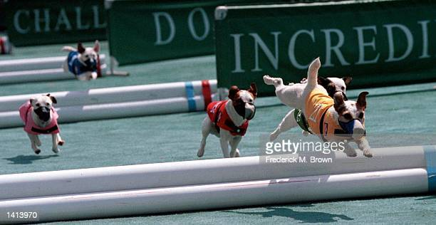 Pomona, CA. Terrier dogs during Incredible Jack Russell Hurdle Racing Competition. Photo by Frederick M. Brown/Online USA, Inc.