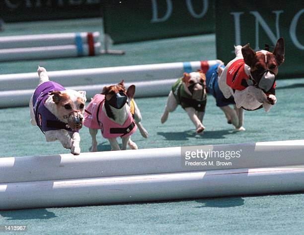 Pomona, CA. Terrier Hurdle Race at the Los County Faircomplex. Photo by Frederick M. Brown/Online USA, Inc.