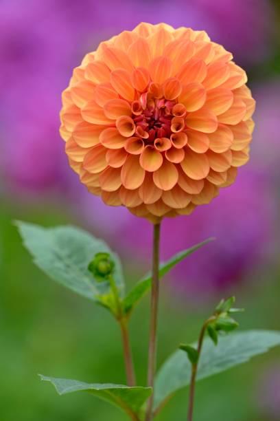 Pompon Dahlia (Dahlia), variety Ginger Willo, orange flower, North Rhine-Westphalia, Germany