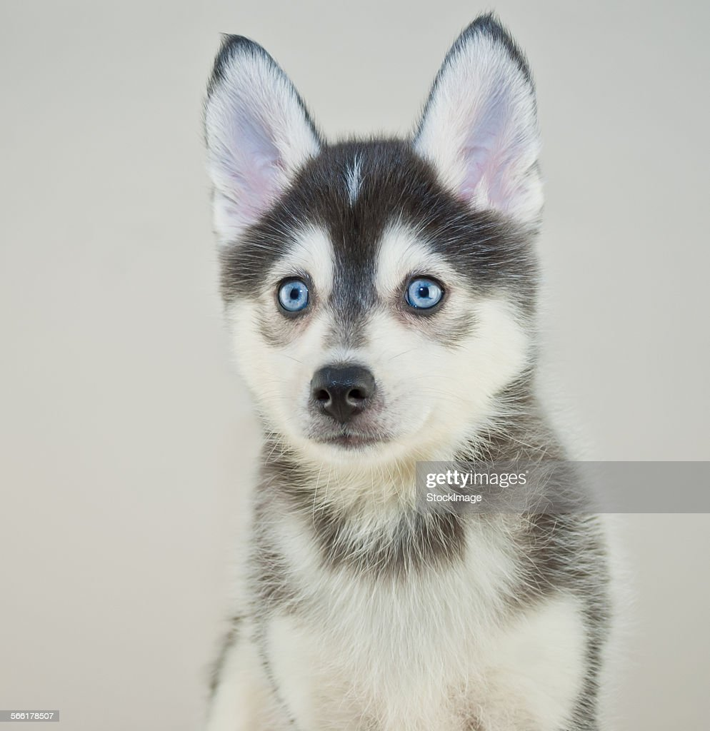 Pomsky Puppy : Stock-Foto