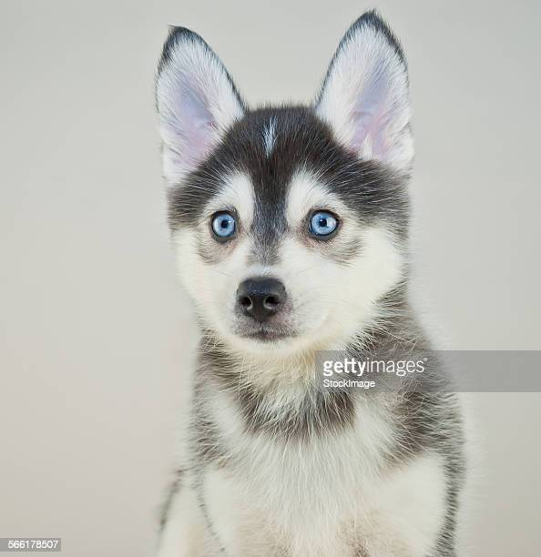 pomsky puppy - sled dog stock pictures, royalty-free photos & images