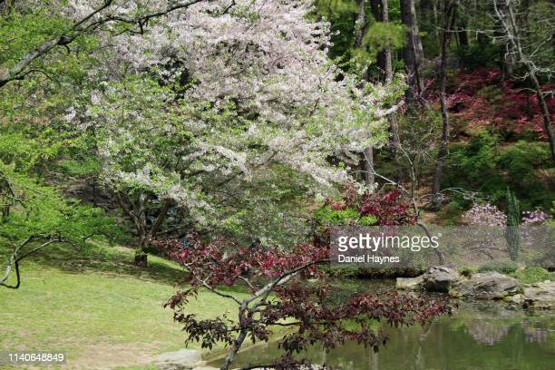 pond and dogwood - dogwood blossom stock pictures, royalty-free photos & images