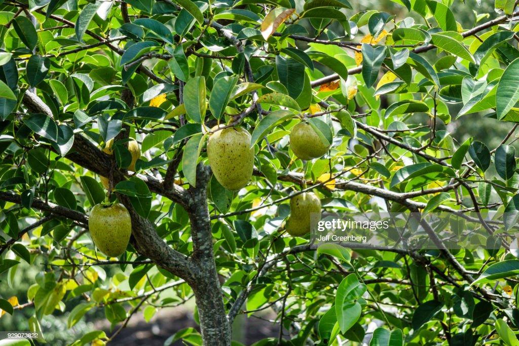 A pond apple tree. : Fotografía de noticias