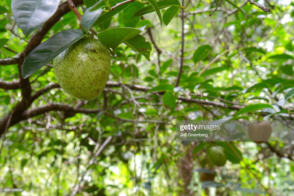 Pond apples at Corkscrew Swamp Sanctuary & Blair Audubon Center. : Fotografía de noticias