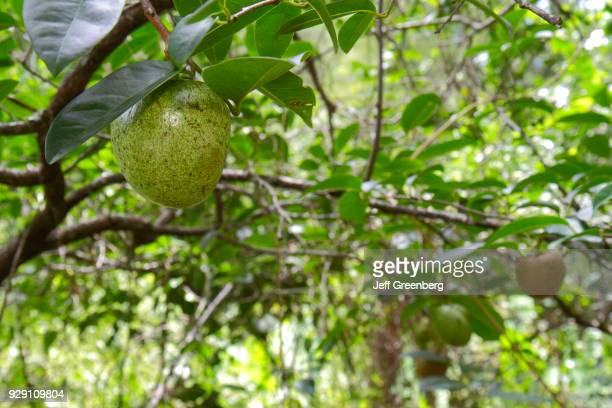 Pond apples at Corkscrew Swamp Sanctuary Blair Audubon Center