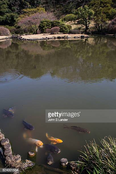 Pond Garden and Koi Carp at Koishikawa Botanical Garden maintained by University of Tokyo its purpose is to contribute to research and education in...