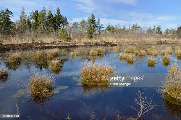 Pond of a wetland bog with Bulrushes -Schoenoplectus lacustris-, former peat mining area, Nicklheim, Bavaria, Germany