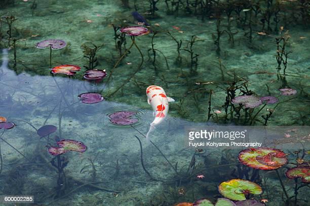 pond of lotus and carp, monet's pond, gihu, japan - 岐阜県 ストックフォトと画像
