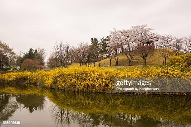 A pond with forsythia