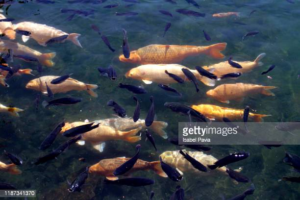pond with many goldfishes and carps - freshwater stock pictures, royalty-free photos & images