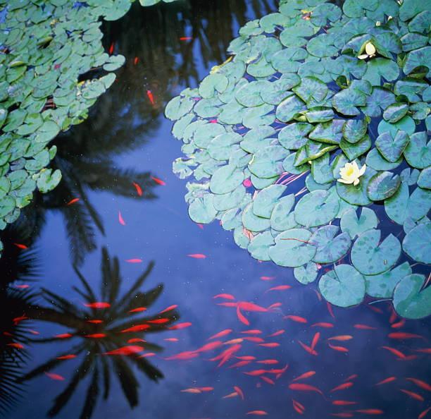 Pond with water lilies (Nymphaea) and carp (Cyprinus carpio), Morocco
