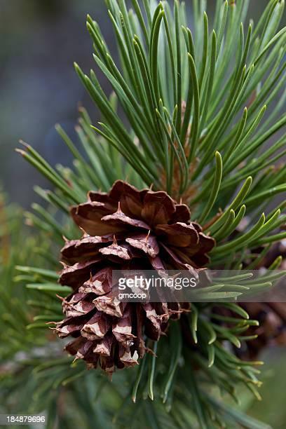 ponderosa pine cone vertical (pinus ponderosa) - pinecone stock pictures, royalty-free photos & images
