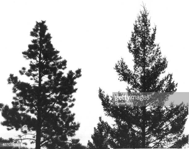Ponderosa pine on the left is overcoming beetle infestation douglas fir to the right is suffering from budworm attack Photo by Robert his book...