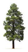 Ponderosa pine tree isolated on white background