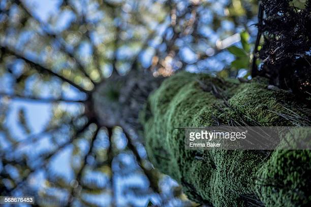 NZ Ponga Tree