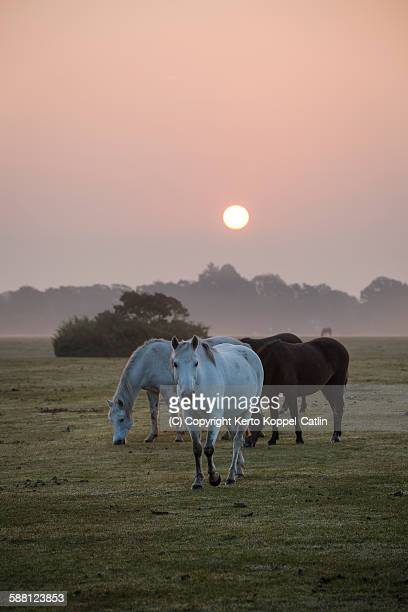 Ponies at misty dawn sunrise in New Forest