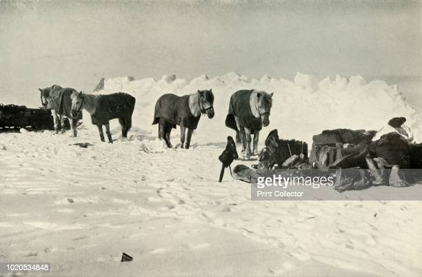 Ponies Behind Their Shelter in Camp on the Barrier' . Four ponies wearing coats stand hobbled to a rope, with sledges nearby and a snow wall behind....
