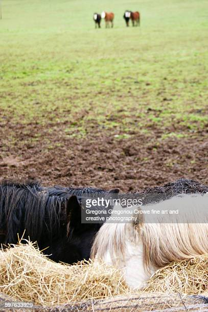 ponies eatting hay - gregoria gregoriou crowe fine art and creative photography. stock pictures, royalty-free photos & images