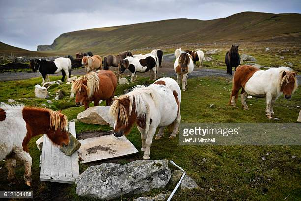 Ponies graze freely on the Island of Foula on October 1 2016 in Foula Scotland Foula is the remotest inhabited island in Great Britain with a current...