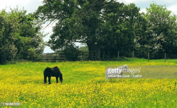 ponies on field against trees - animal stock pictures, royalty-free photos & images