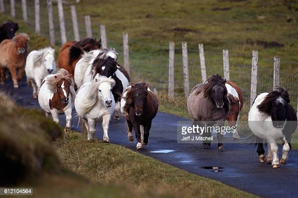Ponies run free on the Island of Foula on October 1 2016 in Foula Scotland Foula is the remotest inhabited island in Great Britain with a current...