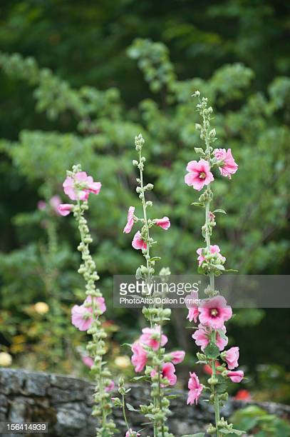 ponk hollyhocks growing in garden - hollyhock stock pictures, royalty-free photos & images