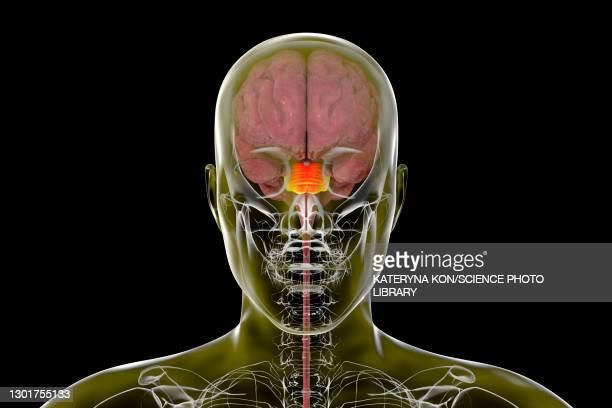 pons of human brain, illustration - the human body stock pictures, royalty-free photos & images
