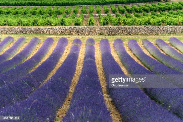 pontevès - lavender fields,7 - provence alpes cote d'azur stock pictures, royalty-free photos & images