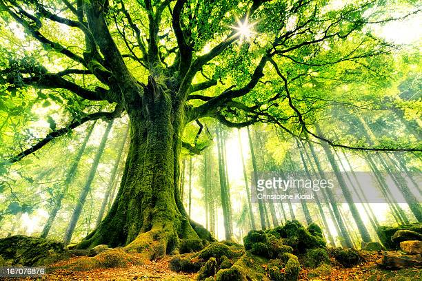 ponthus' beech - low angle view stock pictures, royalty-free photos & images