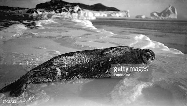HG Ponting Captain Scotts Antarctic Expedition 1910 1912 15th March A Weddell seal on the ice at Cape Evans
