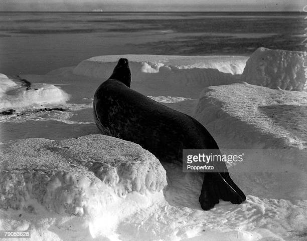 HG Ponting Captain Scotts Antarctic Expedition 1910 1912 26th March A Weddell seal in the ice off Cape Evans