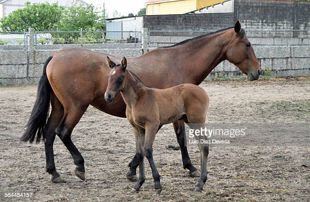 Pony and mare Spanish thoroughbred